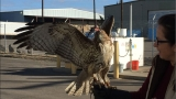 Red tailed hawk living near Boise Airport captured, returned to its owner